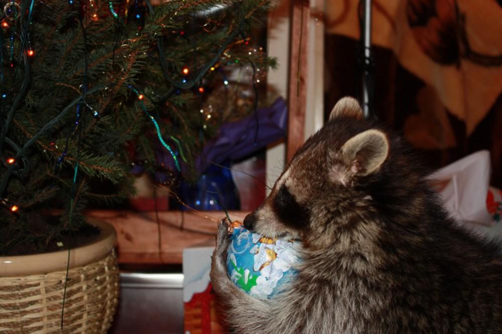 фото енота в новый год том