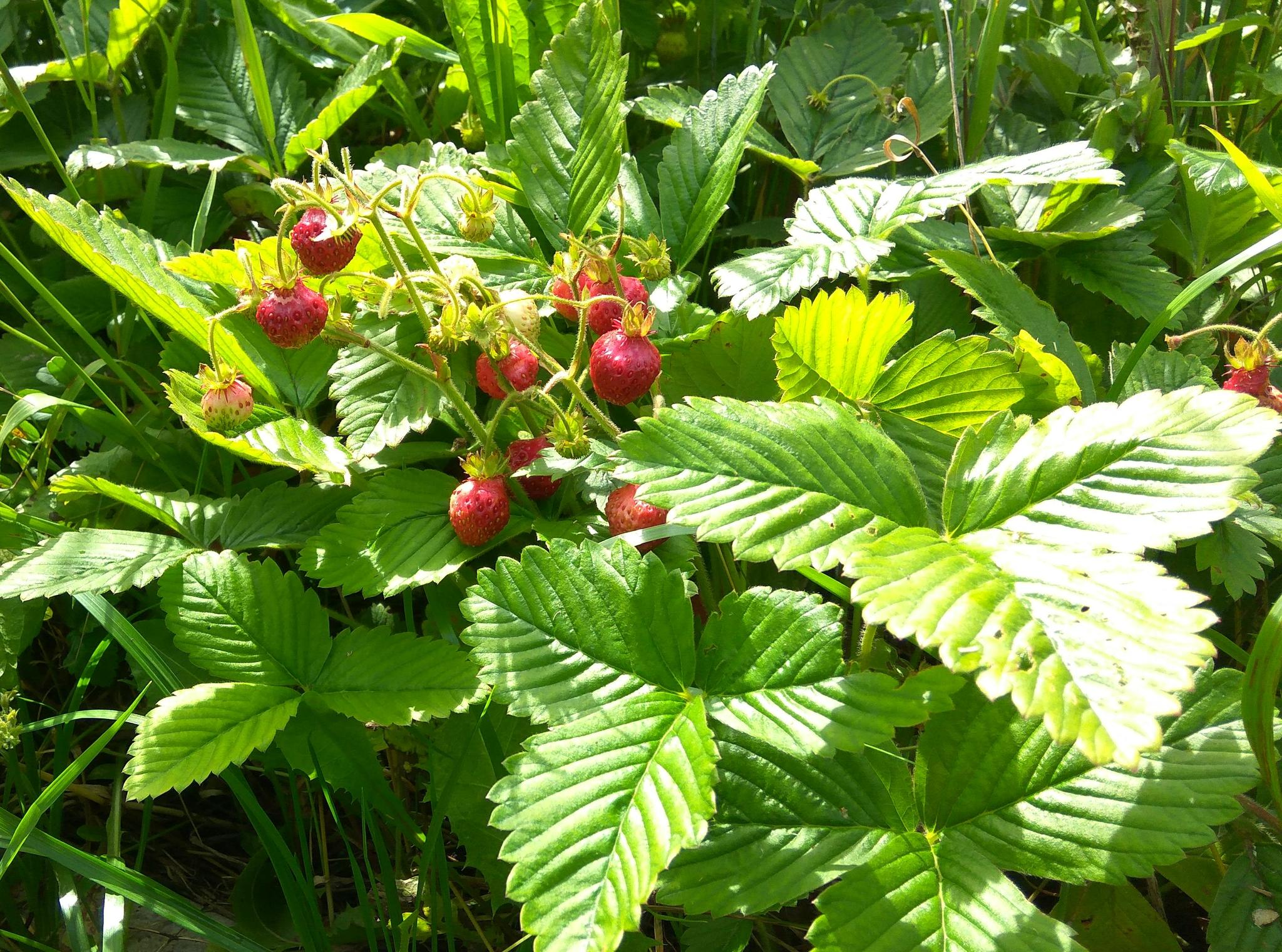 Мускатная земляника(fragaria moschata)