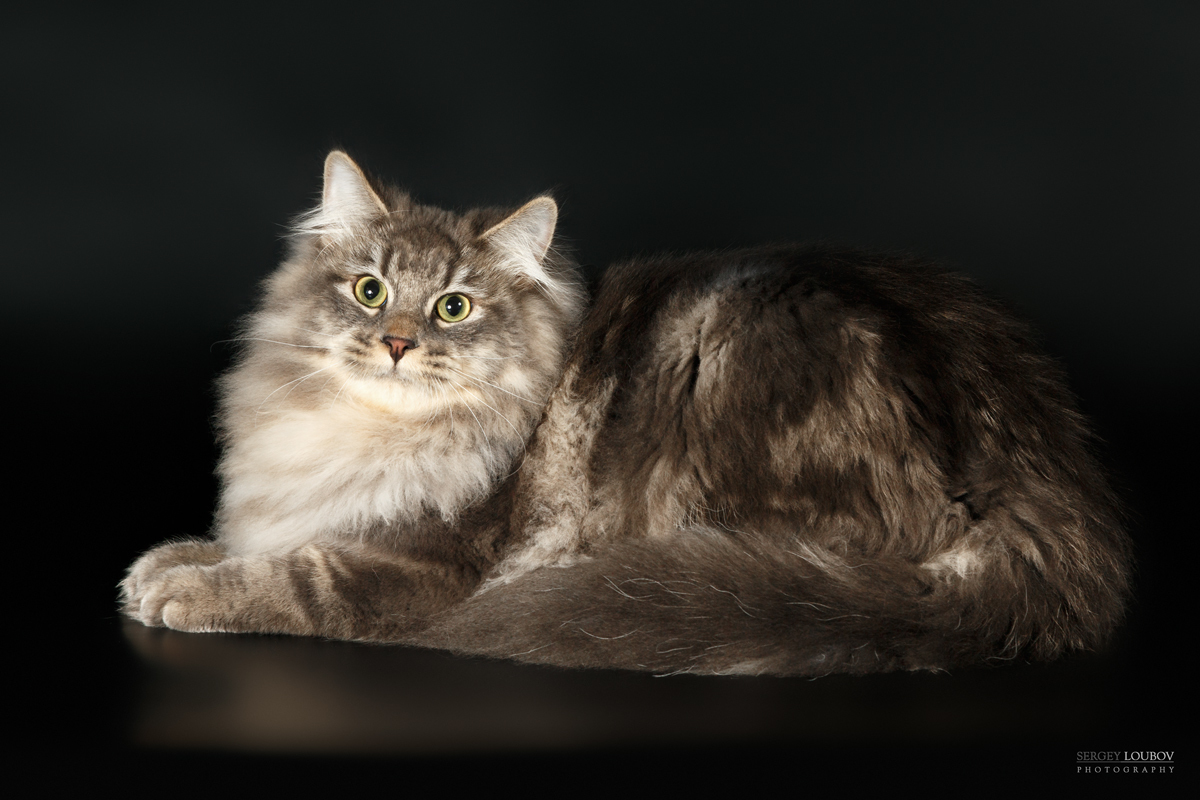 даже сибирские кошки фотографии одним новшеством стали