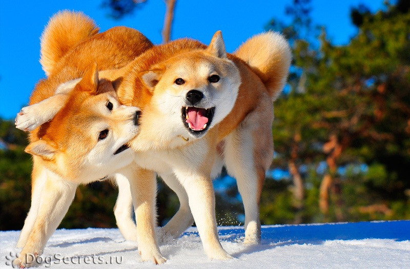 Породы собак похожие на сиба ину