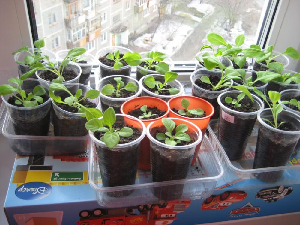 Гацания выращивание из семян фото славилась своей