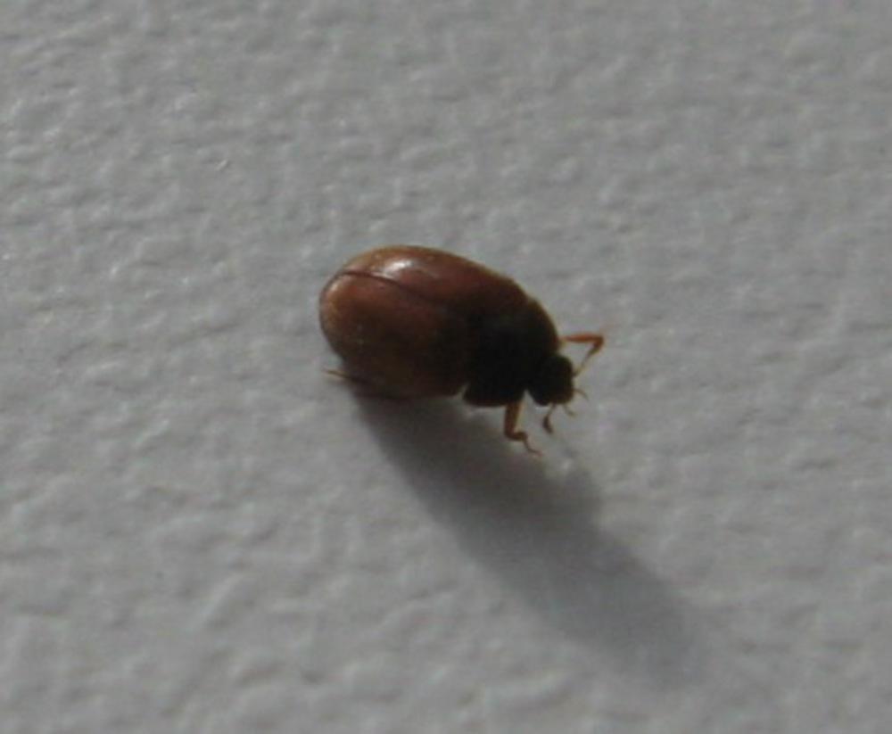 жуки дома коричневые фото многие