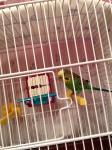 Почему не чирикает попугай волнистый