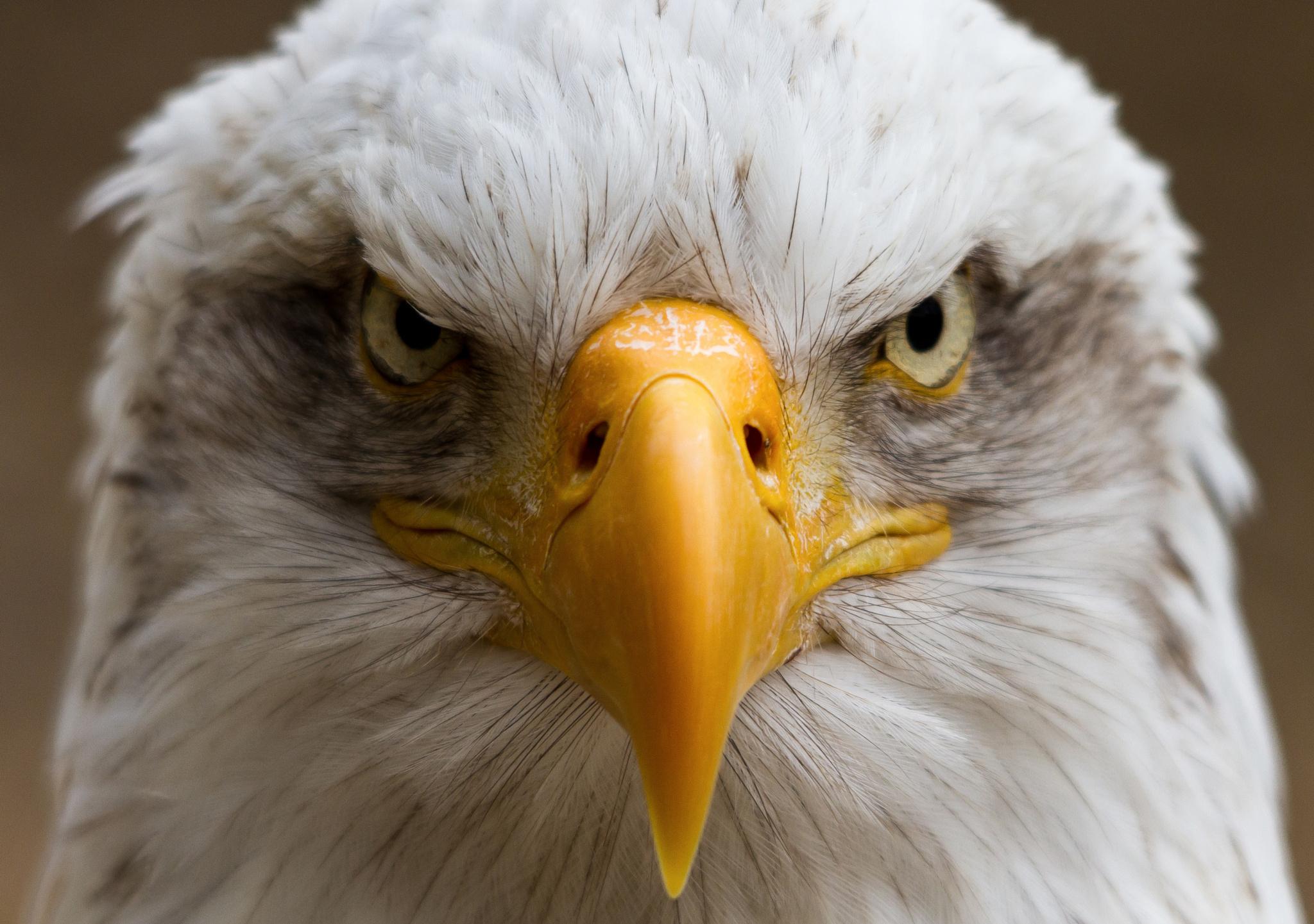 Обои eagle, beak, the, клюв, winter. Животные foto 10